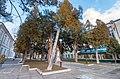 Група тисів навколо пам`ятника Міцкевичу.jpg