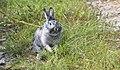 Домашний кролик.jpg