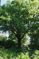 Дуб черешчатий Криниця 2.jpg