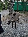 Кабан на Куршской Косе.jpg