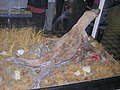 Комодорский гигантский варан 2.jpg