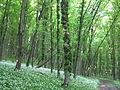 Медобори, ліс 2.JPG