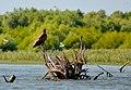 Молодий орлан-білохвіст (Haliaeetus albicilla) в дельті Дунаю.jpg
