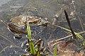 Нерест жаб 1.jpg