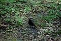 Пуща-Водиця Дрізд чорний DSC 0857.jpg