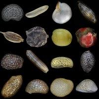Разнообразие семян.tif