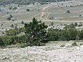 Сосна с ленточками. Ай-Петри. Крым. Сентябрь 2012 - panoramio.jpg