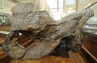 Elasmotherium - Skull; note the large protuberance on the snout