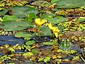 Щитолистни какички Nymphoides peltata.jpg