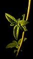برگ به لیمو -Aloysia citrodora 01.jpg