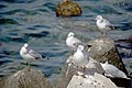 رفتار مرغان دریایی نوروزی یا یاعو در کشور عمان، شهر مسقط، ساحل دریای عمان - عکس مصطفی معراجی 29.jpg