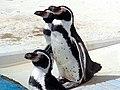 オホーツク水族館 (北海道網走市二ツ岩海岸)6 フンボルトペンギン.jpg