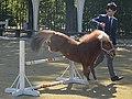 京都競馬場の馬事アトラクション「ミニチュアホースジャンプ」で飛越しているラッキー号(2015年10月25日).JPG