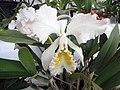 卡特蘭屬 Cattleya mossiae v alba -香港青松觀蘭花展 Tuen Mun, Hong Kong- (9226997499).jpg