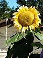 向日葵 Sunflower - panoramio.jpg