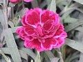 康乃馨 Dianthus caryophyllus Mondrian -荷蘭 Keukenhof Flower Show, Holland- (9383690344).jpg