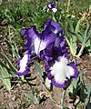 德國鳶尾-高大型 Iris germanica Blue Petticoats -波蘭華沙 Powsin PAN Botanical Garden, Warsaw- (36425802351).jpg