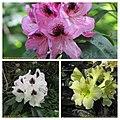杜鵑花 Rhododendron cultivars -比利時國家植物園 Belgium National Botanic Garden- (9227005653).jpg