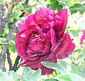 牡丹-墨玉 Paeonia suffruticosa 'Black Jade' -菏澤百花園 Heze, China- (12427795045).jpg