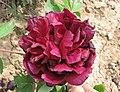 牡丹-煙籠紫 Paeonia suffruticosa 'Smoky Purple' -武漢東湖牡丹園 Wuhan, China- (12477932713).jpg