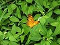琺蛺蝶 Phalanta phalantha - panoramio.jpg