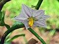 白矮瓜 Solanum melongena -香港西貢獅子會自然教育中心 Saikung, Hong Kong- (9198150431).jpg
