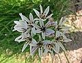 白蒜 Allium denudatum -維也納大學植物園 Vienna University Botanical Garden- (28539794412).jpg