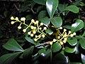 米仔蘭 Aglaia odorata -香港動植物公園 Hong Kong Botanical Garden- (9222670352).jpg