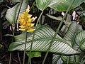 線紋竹芋 Calathea majestica -新加坡植物園 Singapore Botanic Gardens- (9255248072).jpg