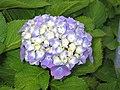 繡球花 Hydrangea macrophylla -英格蘭 Bowness-on-Windermere, England- (9255247974).jpg