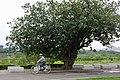 老黃槿樹 Old Portia Tree - panoramio.jpg