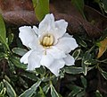 花葉水梔子 Gardenia radicans v variegata -香港公園 Hong Kong Park- (40198742611).jpg