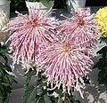 菊花(貫珠型)-紫霞萬縷 Chrysanthemum morifolium Pearls-tubular-series -香港圓玄學院 Hong Kong Yuen Yuen Institute- (9200949680).jpg