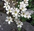 虎耳草屬 Saxifraga callosa -比利時 Ghent University Botanical Garden, Belgium- (9229787324).jpg