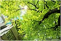 西华路尾细叶榕 - panoramio (1).jpg