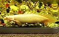 金恐龍 Polypterus senegalus albino - panoramio (1).jpg