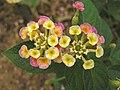 馬纓丹(如意草) Lantana camara -香港動植物公園 Hong Kong Botanical Garden- (9255260772).jpg
