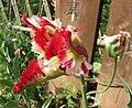 鬱金香-鸚鵡型 Tulipa Flaming Parrot -武漢植物園 Wuhan Botanical Garden- (9252477693).jpg