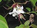 鬼吹簫 Leycesteria formosa -英格蘭 Woking, England- (9240277942).jpg