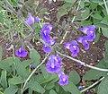 鼠尾草屬 Salvia candelabrum -英格蘭 Wisley Gardens, England- (9198100387).jpg