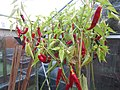 -2019-10-15 Cayenne pepper (Capsicum annuum), Trimingham.JPG