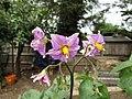 -2020-07-01 Stemster potato flower (Solanum tuberosum), Trimingham (1).JPG