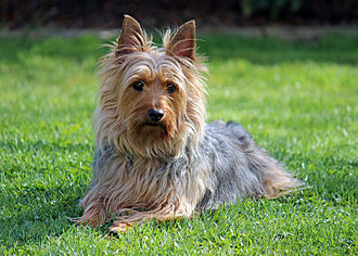 Australian Silky Terrier - An adult male Silky Terrier.