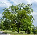 083 2015 05 26 Zwei Walnussbäume (Wiki Loves Earth 2015).jpg