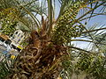 0 dates palm with dates in kuwait by irvin caliicut (4).jpg