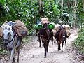 104 Donkeys in Tayrona Park Colombia.JPG