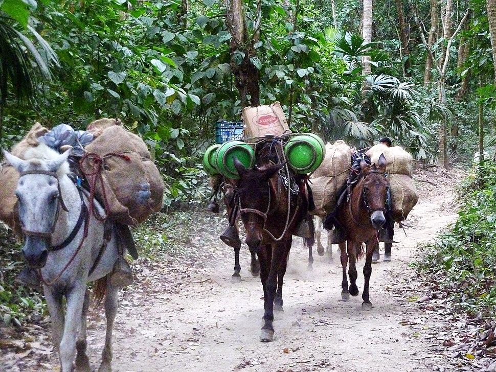 104 Donkeys in Tayrona Park Colombia