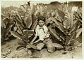 10 yr. old picker on Gildersleeve Tobacco Farm. LOC cph.3b21313.jpg
