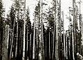1932. Aphis abietina, Walk., damage to Sitka spruce. Jefferson County, Washington. (39149587195).jpg