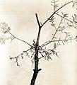 1937. Fir false mistletoe, Razoumofskya occidentalis abietina. Notice twig swelling and scanty foliage. On lowland white fir at Sen. McNary's farm. Salem, Oregon. (36012497455).jpg